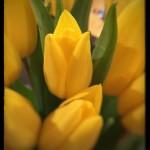 #45: Tulip
