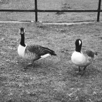 #59: Say 'Boo' to a goose