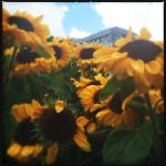 #39: Sunflowers