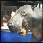 #52: Hippopotamus