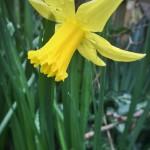 #61: Daffodil