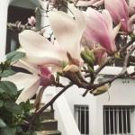 #81: Magnolia