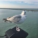 #91: Seagull