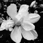 Spring Rain on Blossom
