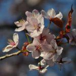 #115 – Blossom