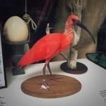 #93: Scarlet ibis