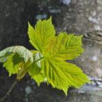 #134 – Leaf