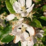 #145 – Apple Blossom