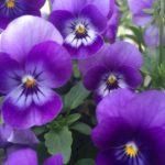 #176: Violets