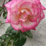 #193 – Rose