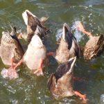 Duck Arses