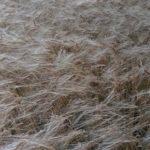 #225 – Wheat
