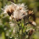 #272 – Seed Head