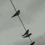 #248 – Swallows
