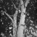 #283: Silver birch