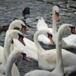 #286: Swans