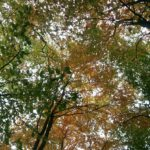 #304 – Autumn Canopy