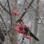 #327 – Blackbird