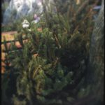 #339: Oh Christmas tree