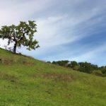 Lonely Oak